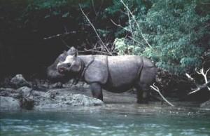 Java One Horned Rhino Pandeglang Banten