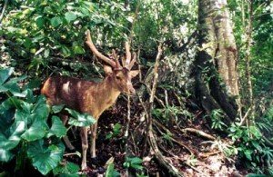 Ujung Kulon Deer Pandeglang Banten